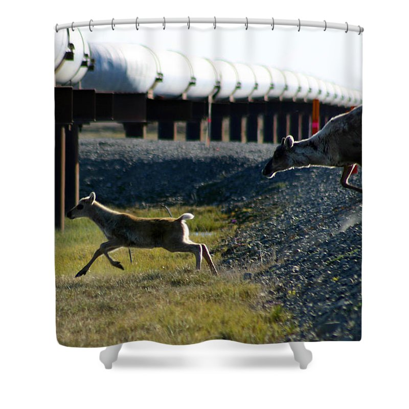 Caribou Shower Curtain featuring the photograph Caribou Cow And Fawn by Anthony Jones