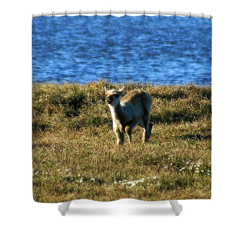 Fawn Shower Curtain featuring the photograph Caribou Fawn by Anthony Jones