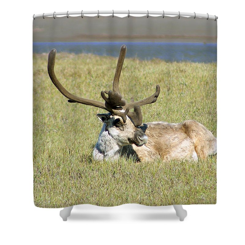 Caribou Shower Curtain featuring the photograph Caribou Rest by Anthony Jones
