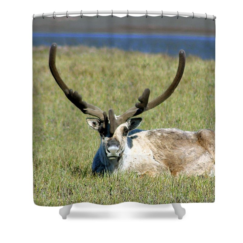 Caribou Shower Curtain featuring the photograph Caribou Resting In Tundra Grass by Anthony Jones