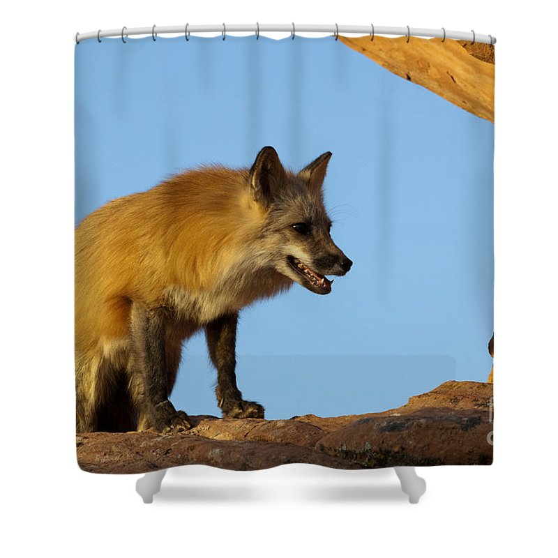 Fox Shower Curtain featuring the photograph Checking My Shadow by Sandra Bronstein