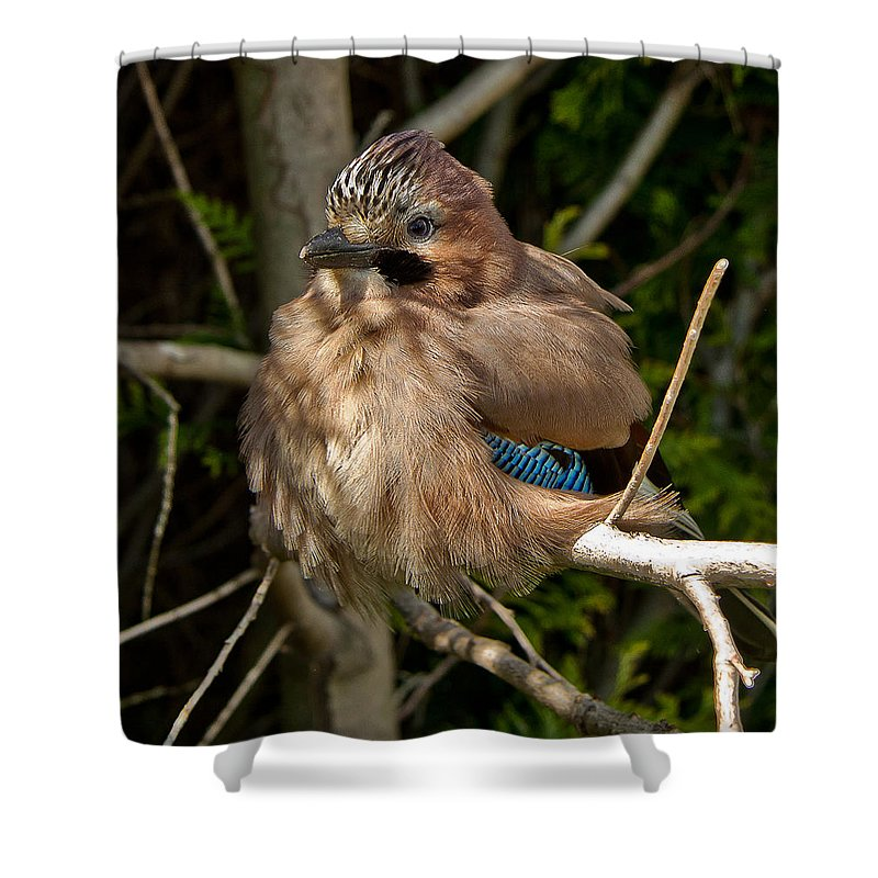 Nature Shower Curtain featuring the photograph Cheeky Jay by Dawn OConnor