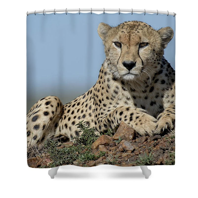 Safari Shower Curtain featuring the photograph Cheetah On Mound by Bryan Pereira