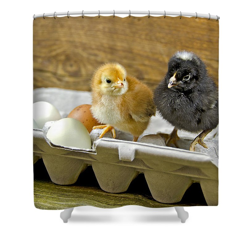 Chicken Shower Curtain featuring the photograph Chicks And Eggs by Maria Dryfhout