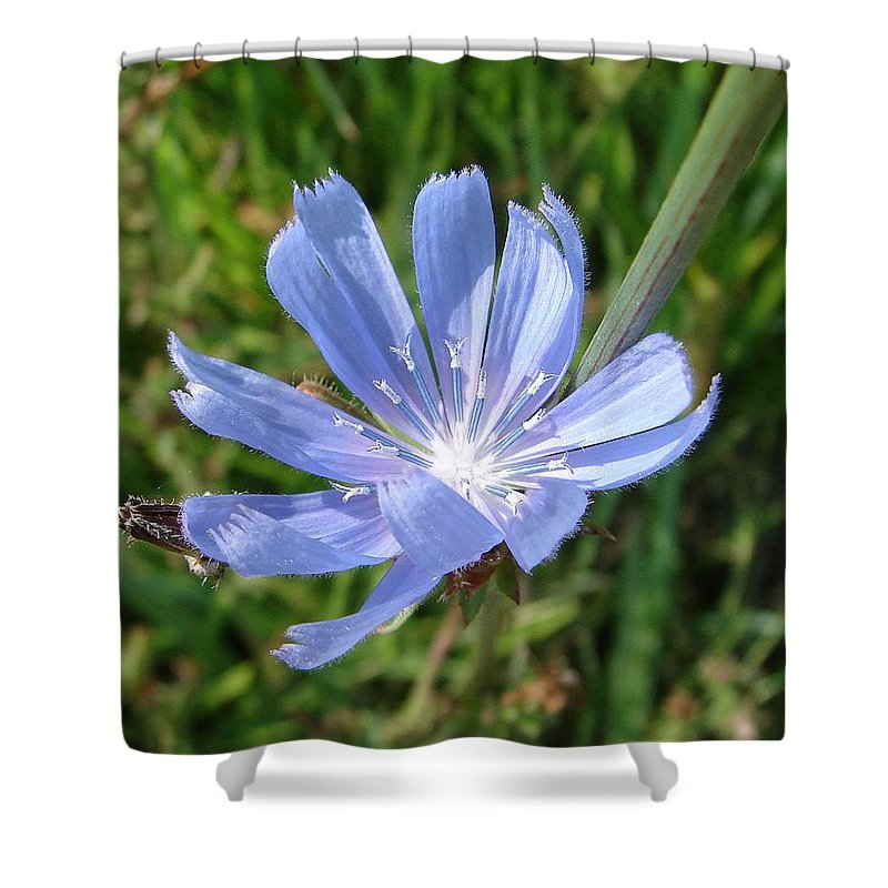 Blue Flower Green Shower Curtain featuring the photograph Chicory by Luciana Seymour