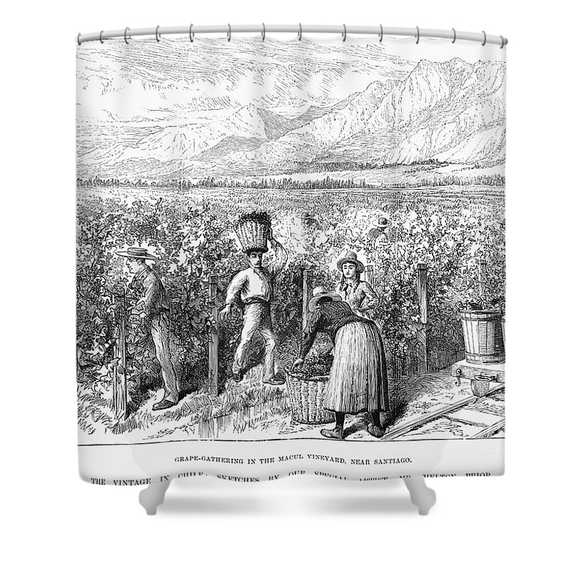 1889 Shower Curtain featuring the photograph Chile: Wine Harvest, 1889 by Granger