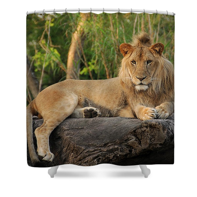 Lion Shower Curtain featuring the photograph Classic Young Male by Steven Sparks