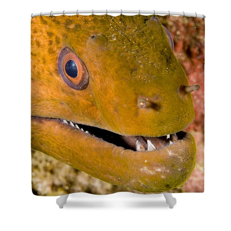 Closeups Shower Curtain featuring the photograph Closeup Of A Giant Moray Eel by Tim Laman