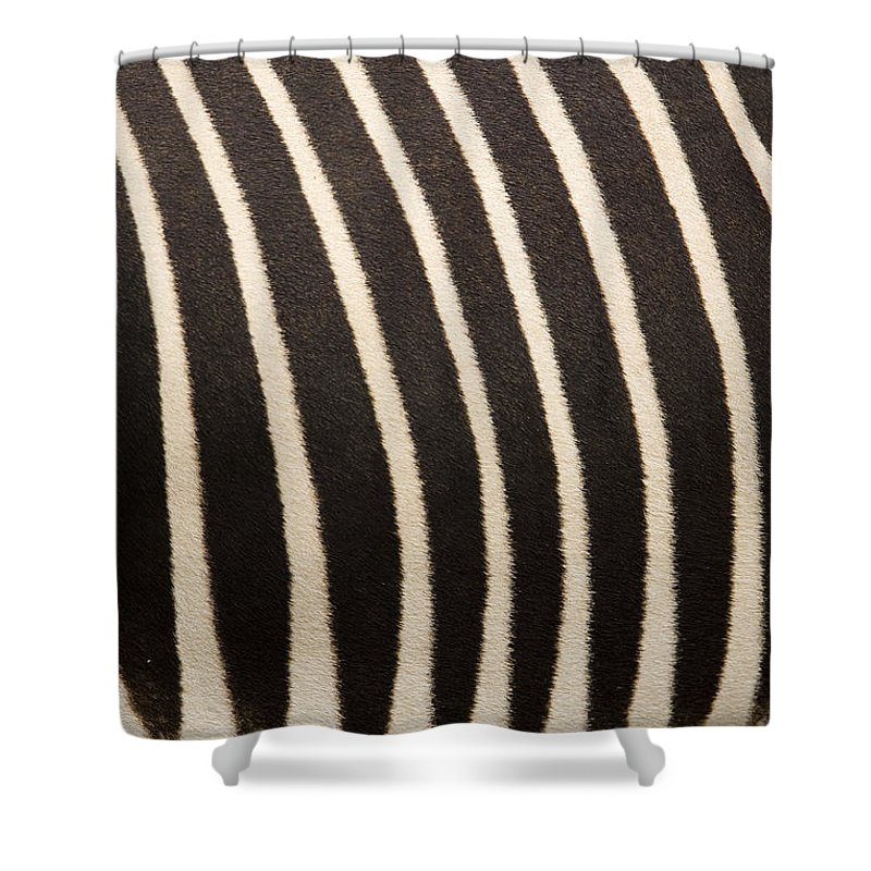 Captive Animals Shower Curtain featuring the photograph Closeup Of A Grevys Zebras Coat Equus by Tim Laman