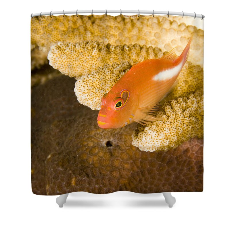 One Animal Shower Curtain featuring the photograph Closeup Of An Arc-eye Hawkfish by Tim Laman
