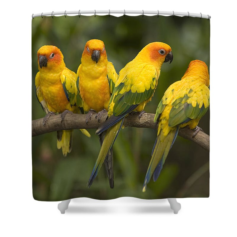 Four Animals Shower Curtain featuring the photograph Closeup Of Four Captive Sun Parakeets by Tim Laman