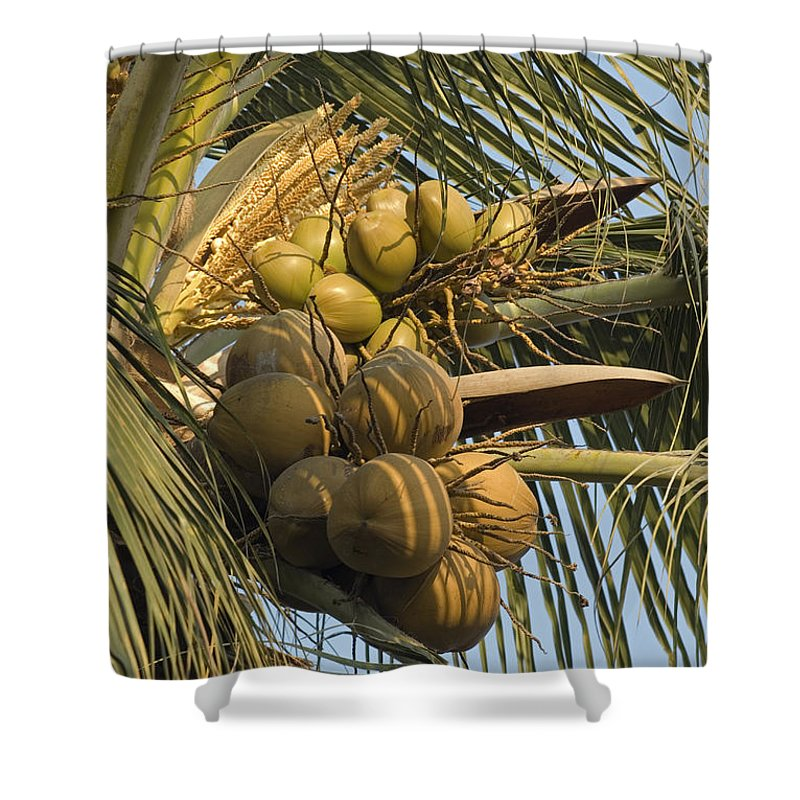 Coconuts Shower Curtain featuring the photograph Coconuts Cluster At Los Tules Resort by Rich Reid