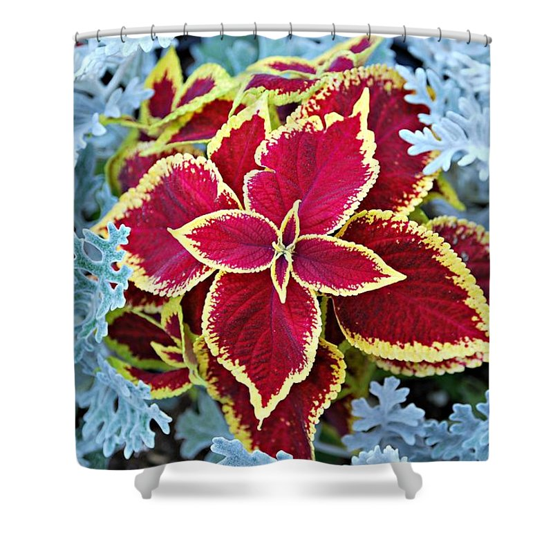 Annual Flowers Shower Curtain featuring the photograph Coleus And Dusty Miller by Barbara Woodson