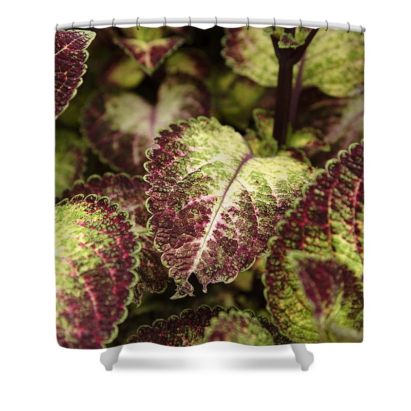 New England Shower Curtain featuring the photograph Coleus Plant by Erin Paul Donovan