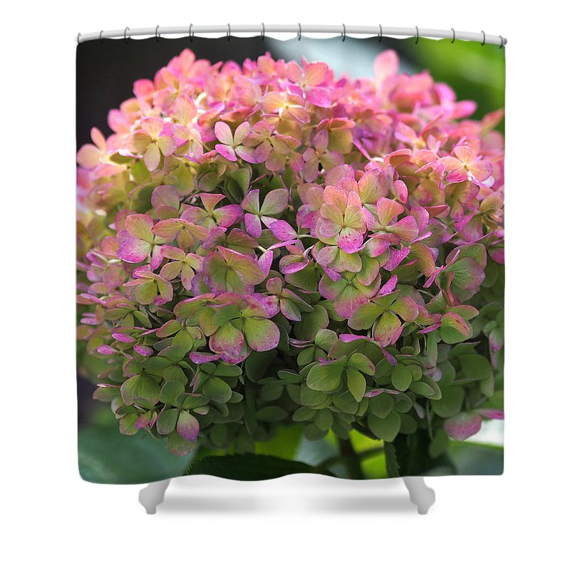 Hydrangea Shower Curtain Featuring The Photograph Color Changing Little Lime By Rona Black