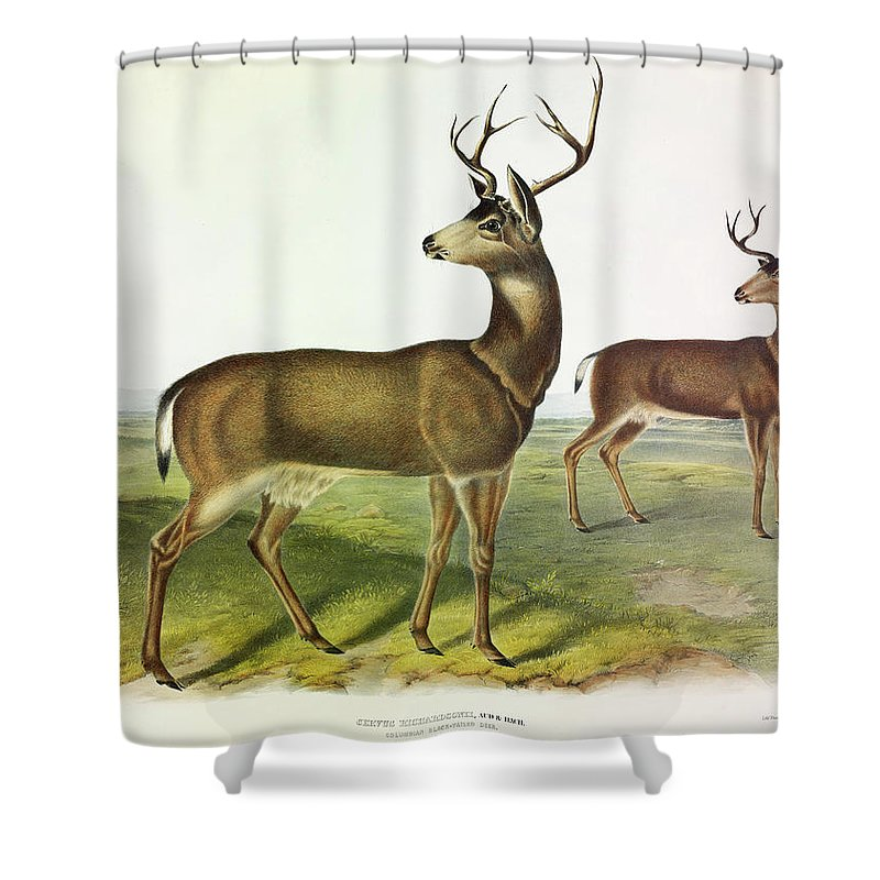 Black-tailed Deer Shower Curtain featuring the painting Columbian Black-tailed Deer by John James Audubon
