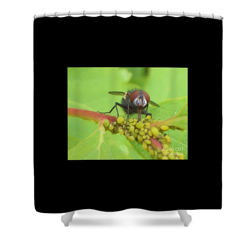 Insect Shower Curtain featuring the photograph Common Fly Licking Up Aphid Nectar   May     Indiana  by Rory Cubel
