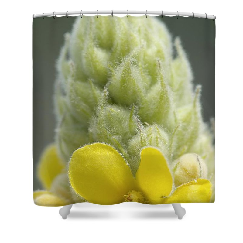 New England Shower Curtain featuring the photograph Common Mullein - New England by Erin Paul Donovan
