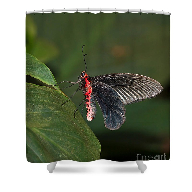 Butterfly Shower Curtain featuring the photograph Common Rose Butterfly by Louise Heusinkveld