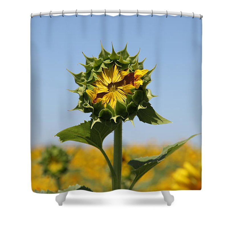 Sunflowers Shower Curtain featuring the photograph Competition by Amanda Barcon