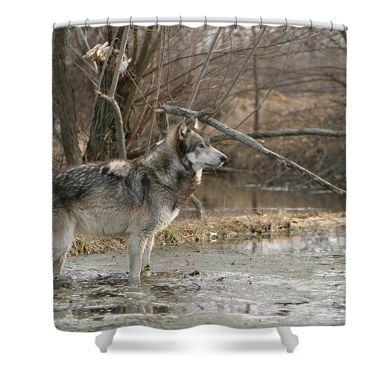Wolf Canid Canus Lupis Wildlife Wild Animal Mammal Gray Grey Timberwolf Photograph Photography Digital Art Shower Curtain featuring the photograph Concentration by Shari Jardina