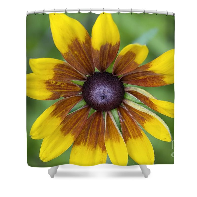 New England Shower Curtain featuring the photograph Coneflower - New England Wild Flower by Erin Paul Donovan