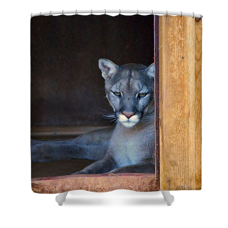 Cougars Shower Curtain featuring the photograph Cougar by Donna Shahan