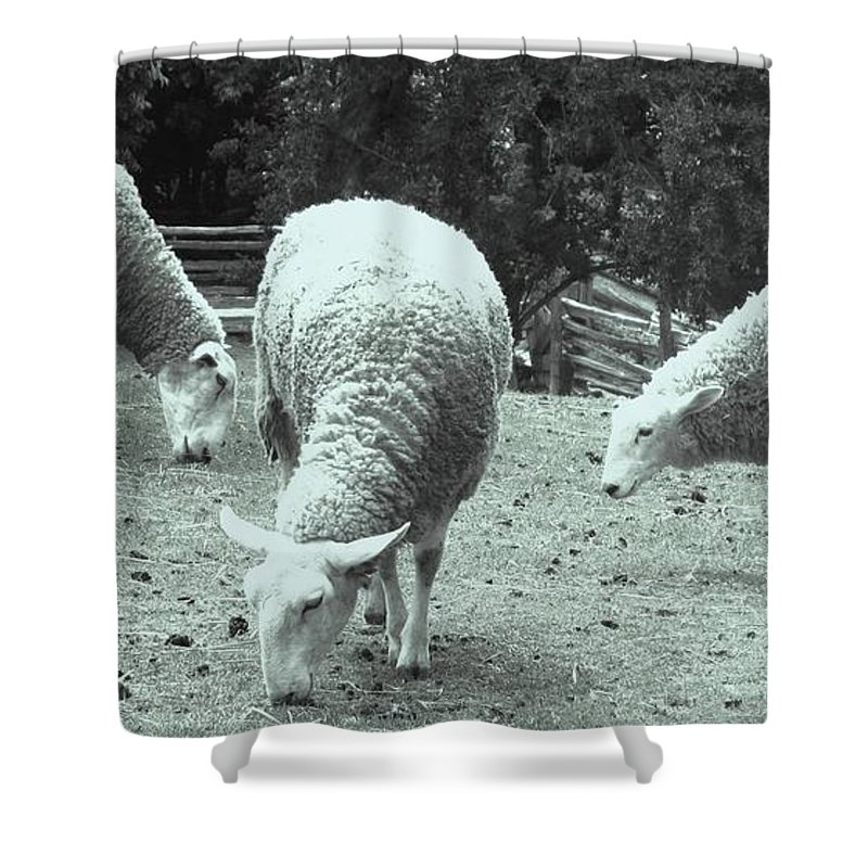 Sheep Shower Curtain featuring the photograph Counting Sheep by Ian MacDonald