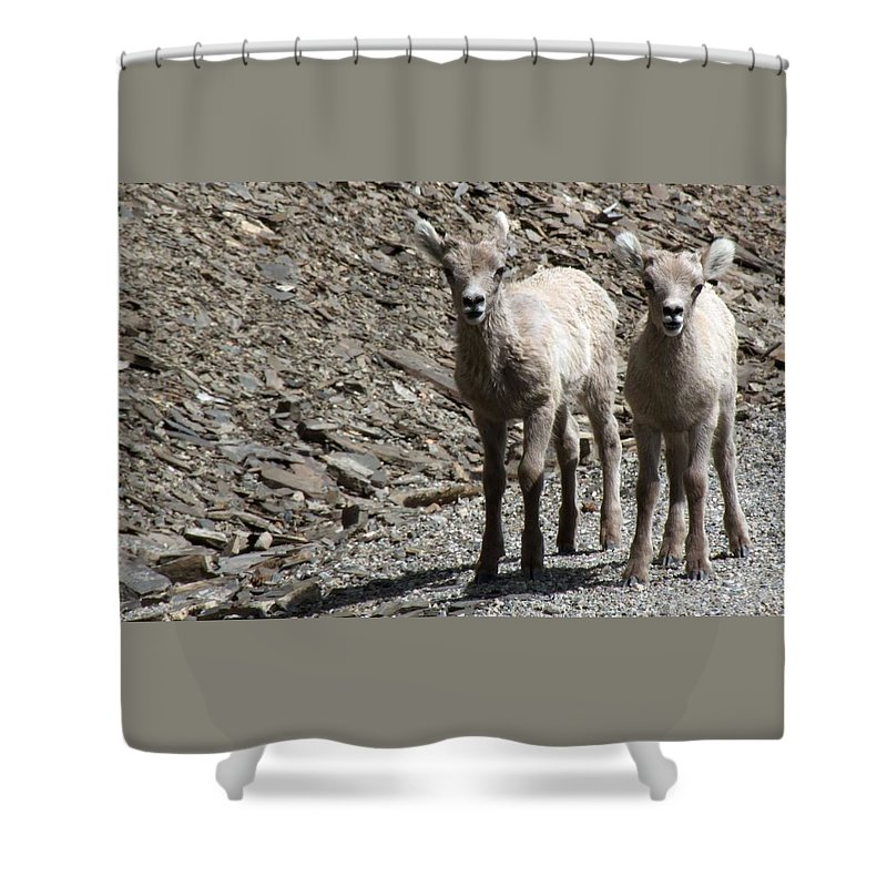 Baby Shower Curtain featuring the photograph Couple Of Cuties- Baby Bighorn by Tiffany Vest