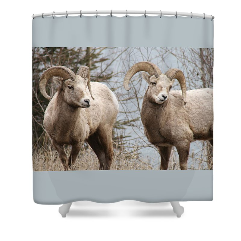 Bighorn Sheep Shower Curtain featuring the photograph Couple Of Rams- Banff National Park by Tiffany Vest