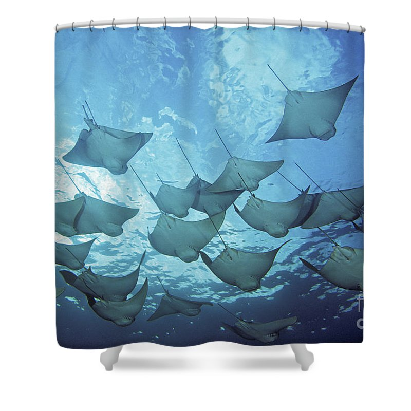 Animal Art Shower Curtain featuring the photograph Cownose Rays by Dave Fleetham - Printscapes