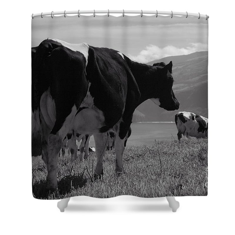 Azoren Shower Curtain featuring the photograph Cows by Gaspar Avila