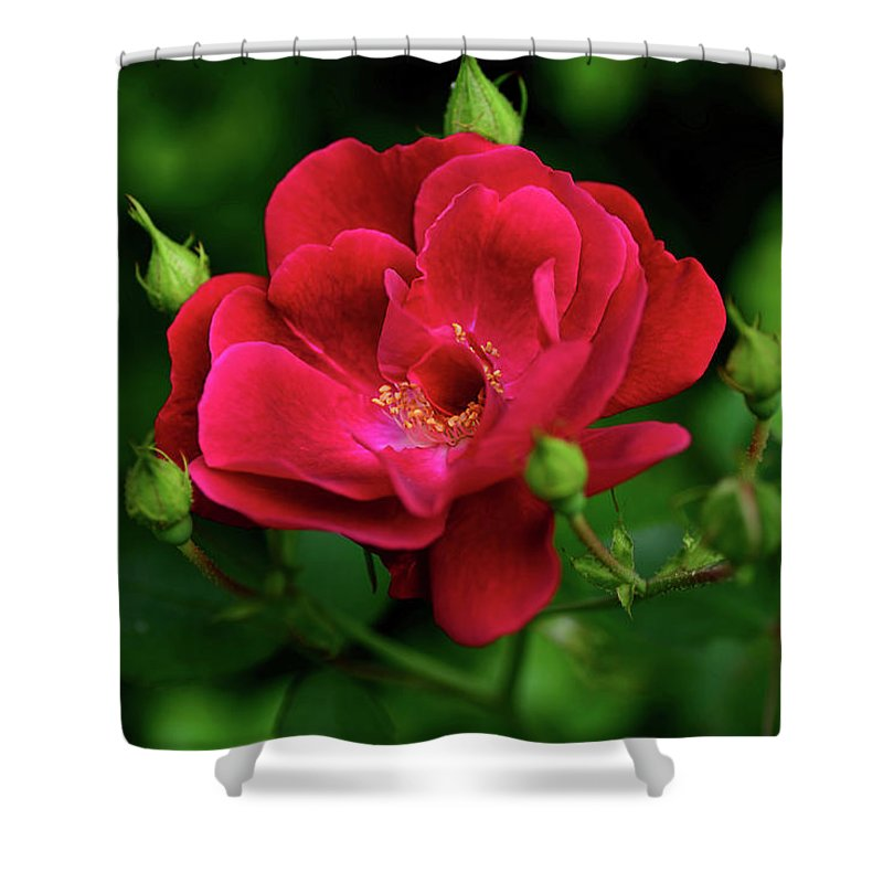Crimson Red Rose Shower Curtain featuring the photograph Crimson Red Rose By Kaye Menner by Kaye Menner