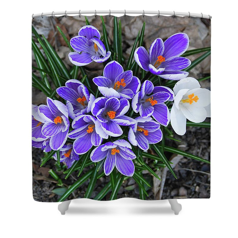 Pams Gardens Shower Curtain featuring the photograph Crocus 6675 by Guy Whiteley