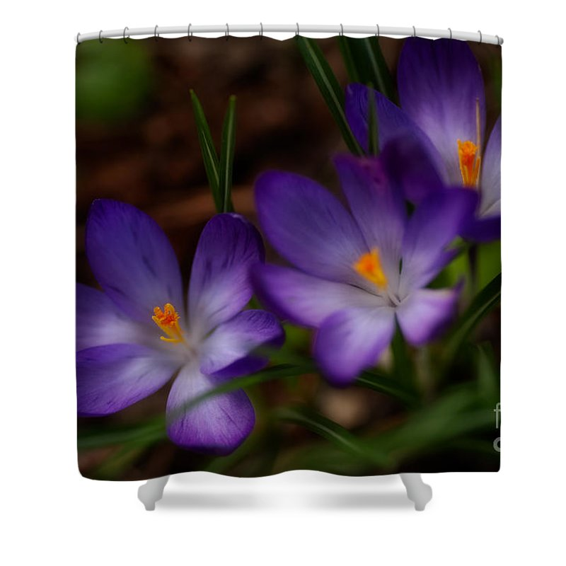 Beauty In Nature Shower Curtain featuring the photograph Crocus Trio by Venetta Archer