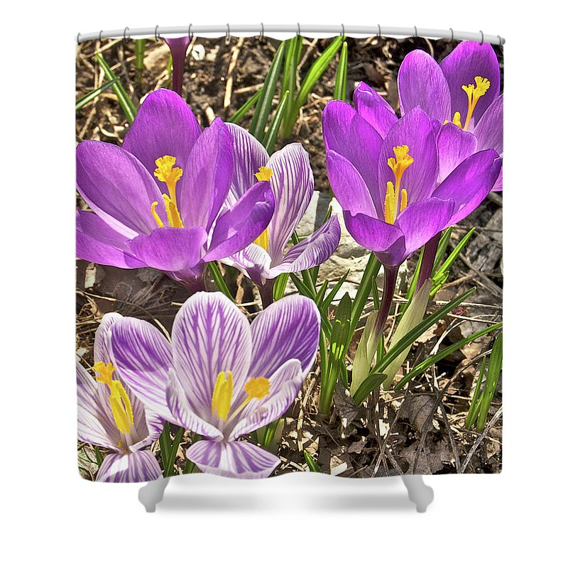 Crocus Shower Curtain featuring the photograph Crocuses 4 by Michael Peychich