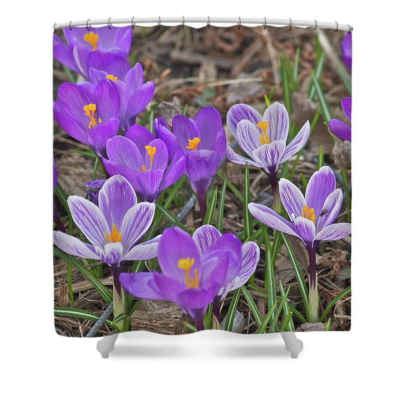 Crocus Shower Curtain featuring the photograph Crocuses 5 by Michael Peychich