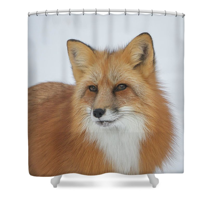 Red Fox Shower Curtain featuring the photograph Curious Fox by Jack Bell