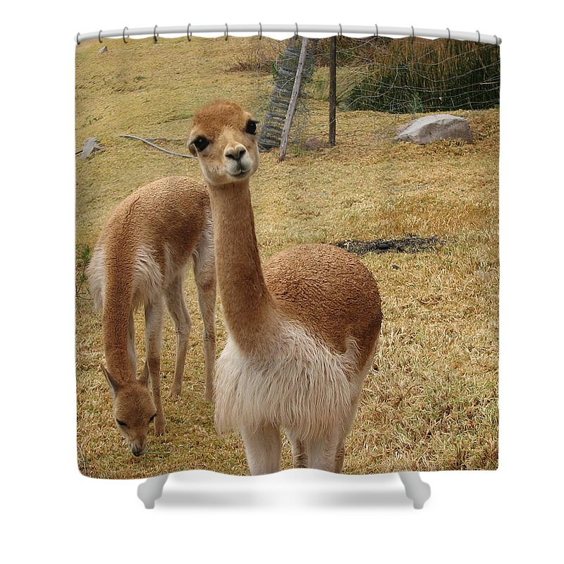 Llamas Shower Curtain featuring the photograph Curious by Sandra Bourret