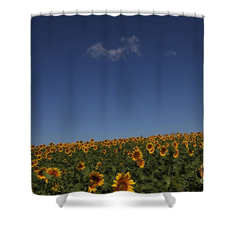 Sunflowers Shower Curtain featuring the photograph Curvature by Amanda Barcon