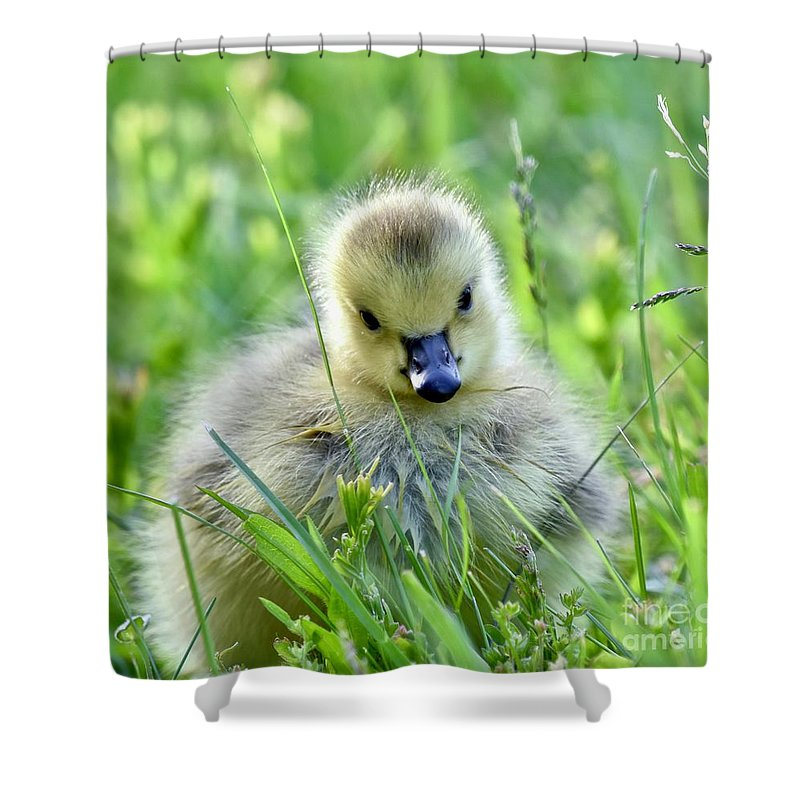 Adorable Shower Curtain featuring the photograph Cute Goose Chick by Jeramey Lende