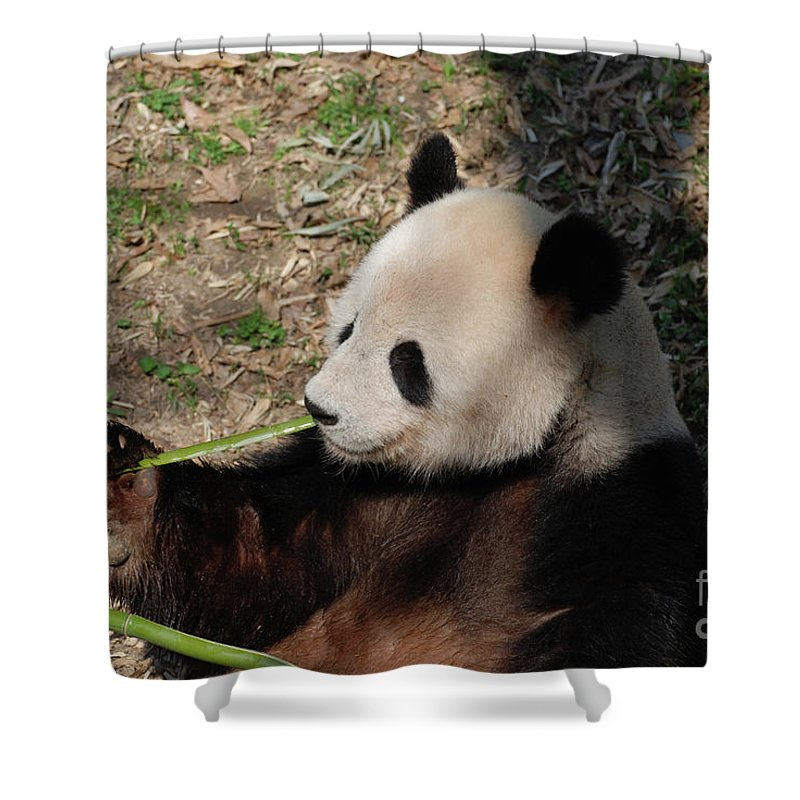Panda Shower Curtain featuring the photograph Cute Panda Bear Eating A Green Shoot Of Bamboo by DejaVu Designs