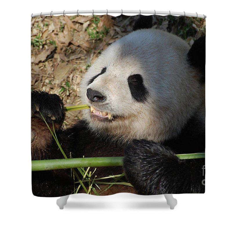 Panda Shower Curtain featuring the photograph Cute Panda Bear With Very Sharp Teeth Eating Bamboo by DejaVu Designs