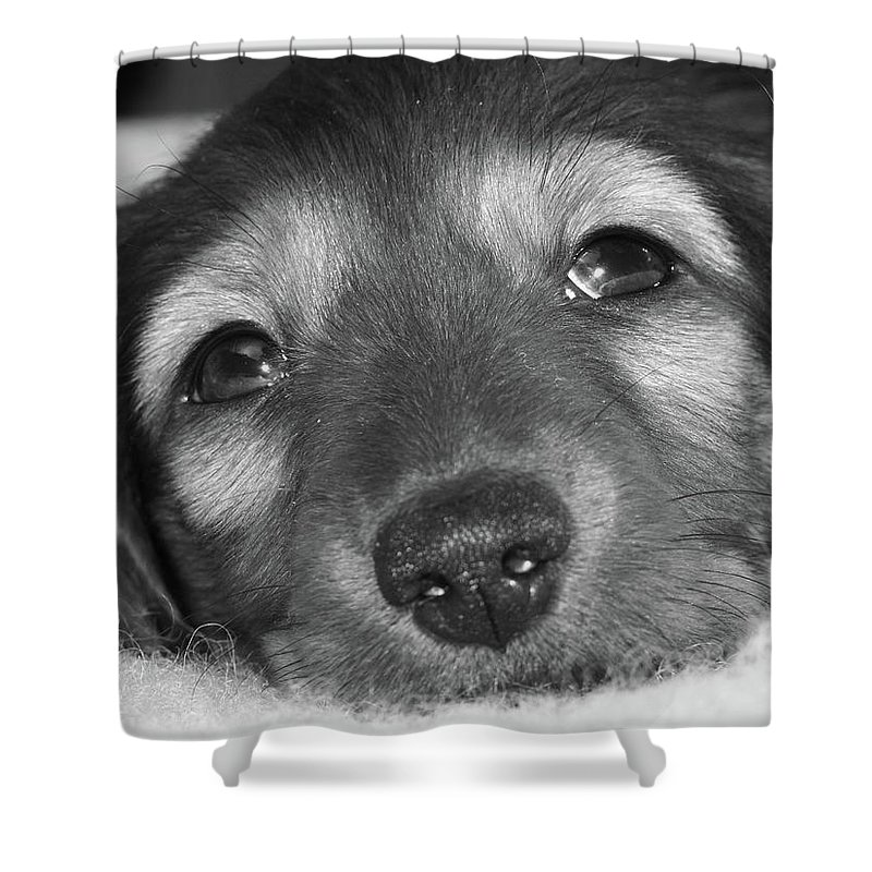 Dachshund Puppy Black And White Thoughtful Shower Curtain featuring the photograph Dachshund Puppy by Miriam Lillevand