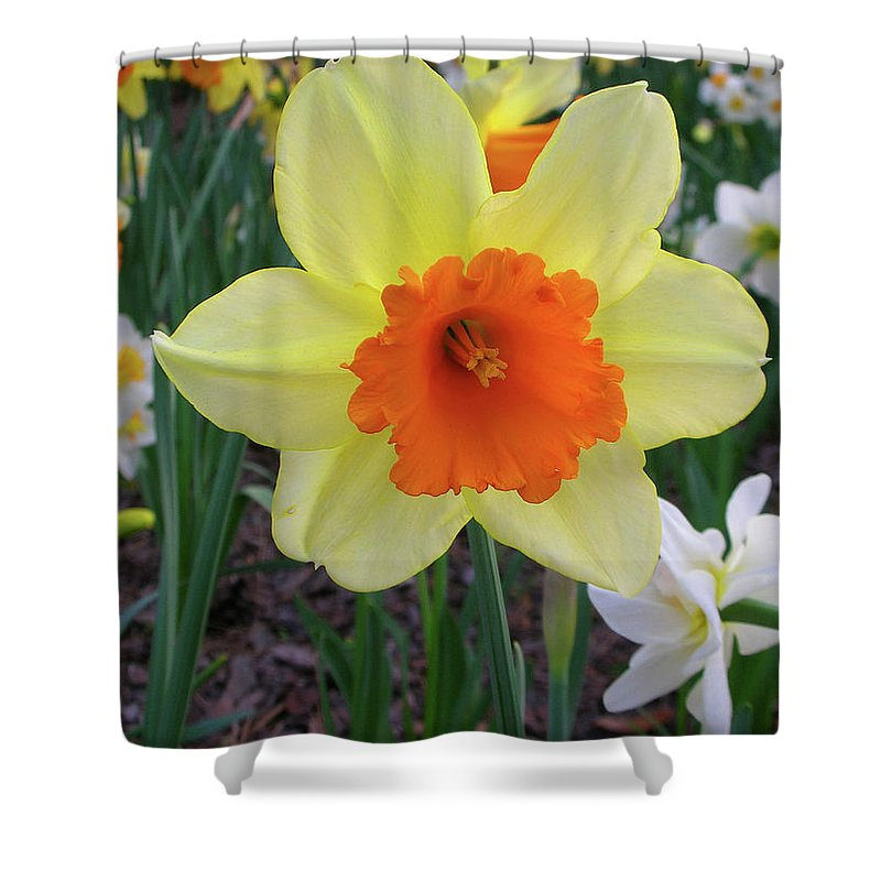Flowers Shower Curtain featuring the photograph Daffodil 0796 by Guy Whiteley