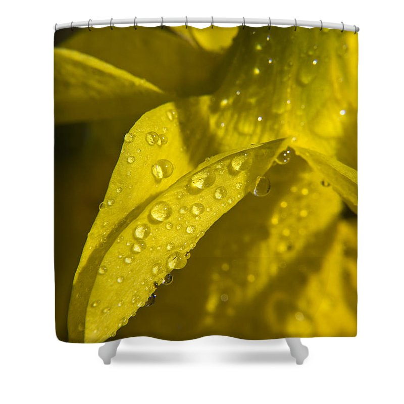 Daffodil Shower Curtain featuring the photograph Daffodil Dew by Teresa Mucha