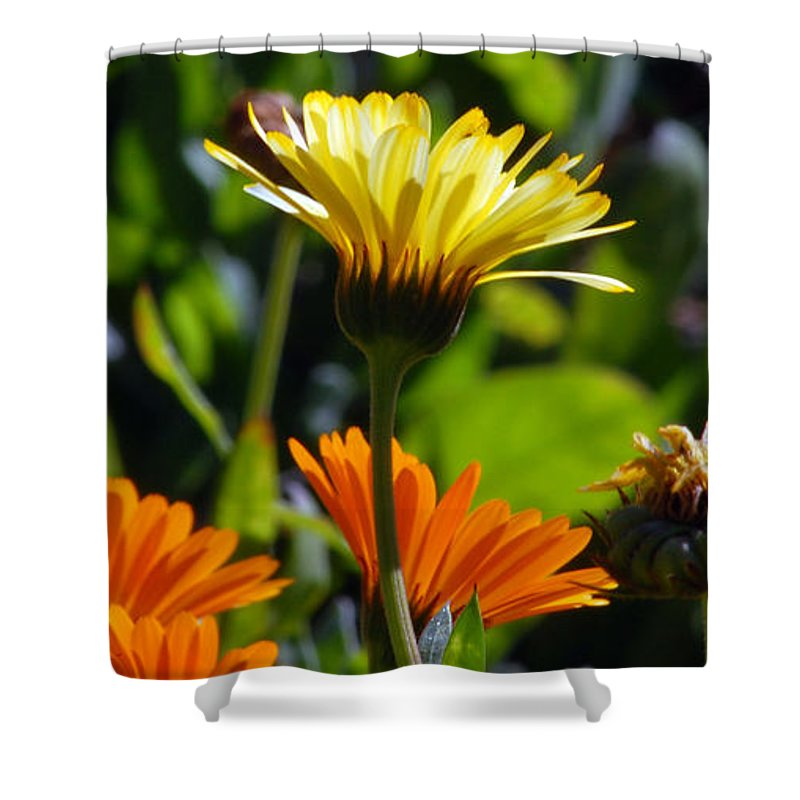 Dasy Shower Curtain featuring the photograph Daisies by Amy Fose