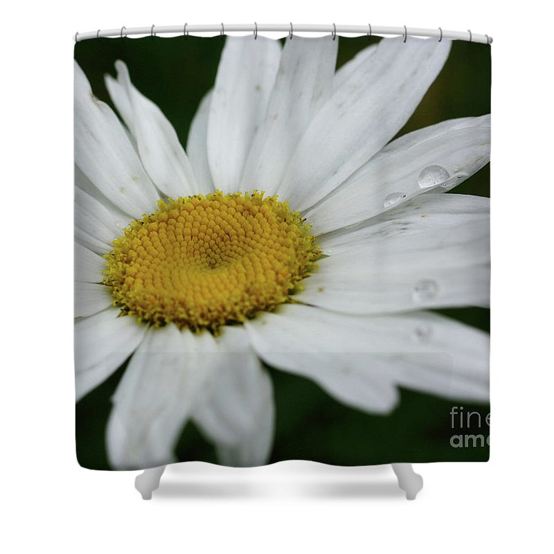 Flower Shower Curtain featuring the photograph Daisy And Raindrops by Smilin Eyes Treasures