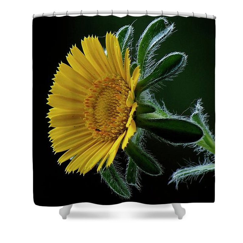 Flower Shower Curtain featuring the photograph Daisy by Suzanne Morshead