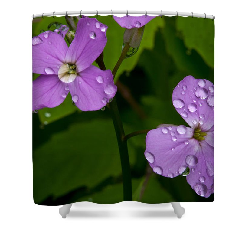 Wildflowers Shower Curtain featuring the photograph Dame's Rocket Raindrops#2 by Irwin Barrett